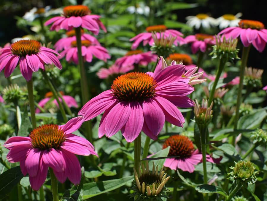 Echinacea - lékař mezi bylinkami