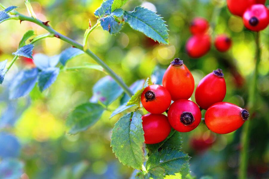 Šípky obsahují nejvíce vitamínu C, když je sucho a slunečno